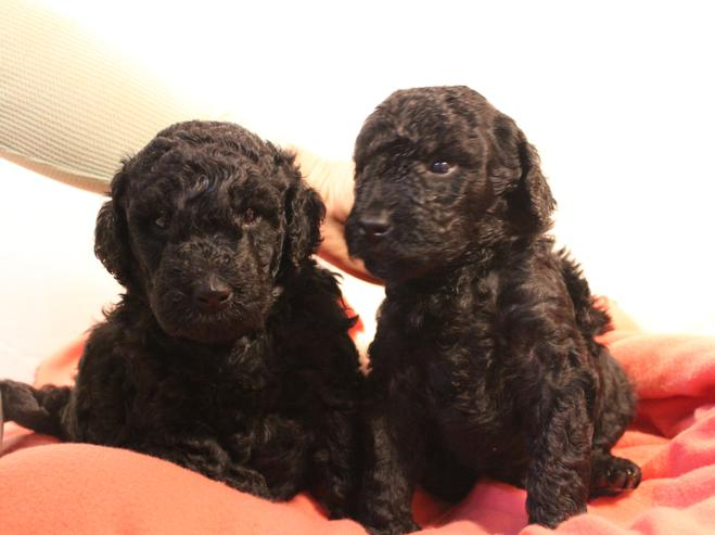 Labradoodle breeder Los Angeles, CA/Puppies for sale in CA