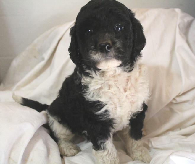 Labradoodle Breeder Los Angeles | Puppies for Sale California