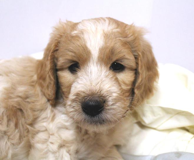 Labradoodle breeder Los Angeles, CA/Puppies for sale in CA